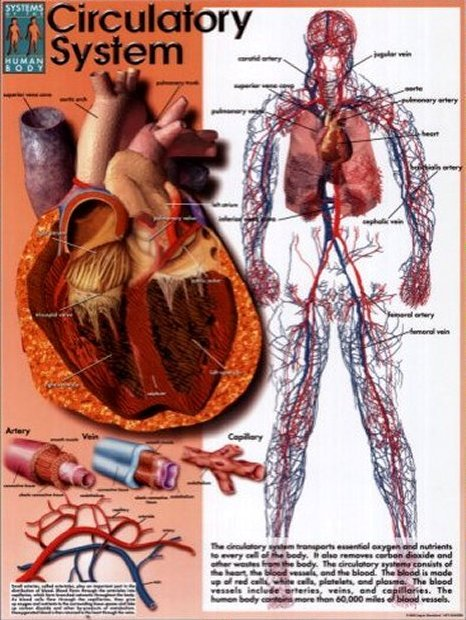 Anatomy Image: Circulatory System