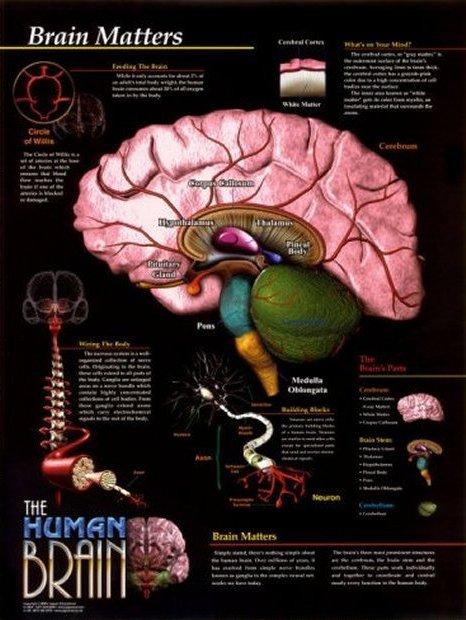 Anatomy Image: Brain Matters