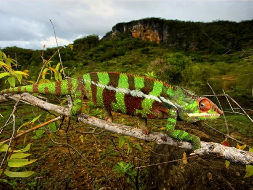 Striped Chameleon