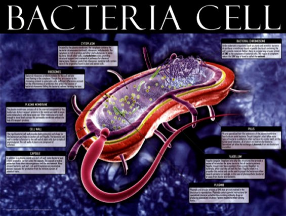 Biology - Bacteria Cell