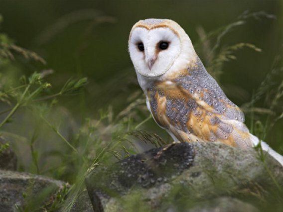 Barn Owl on Dry Stone Wall, Tyto Alba, United Kingdom