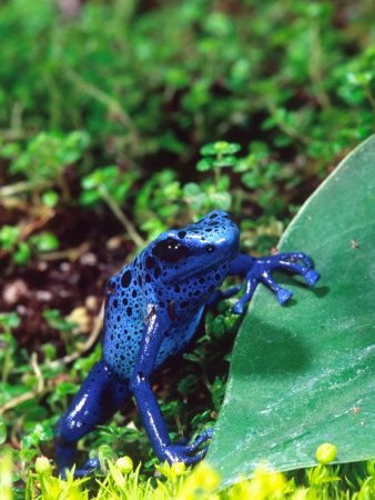 Blue Poison Frog Native to Surinam