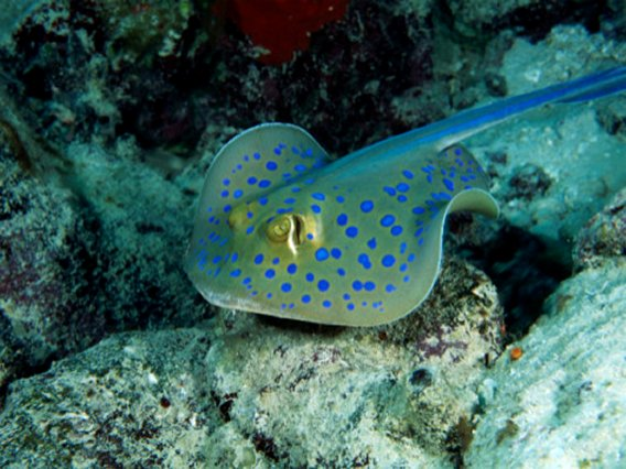 Egypt - Spotted Stingray, Red Sea