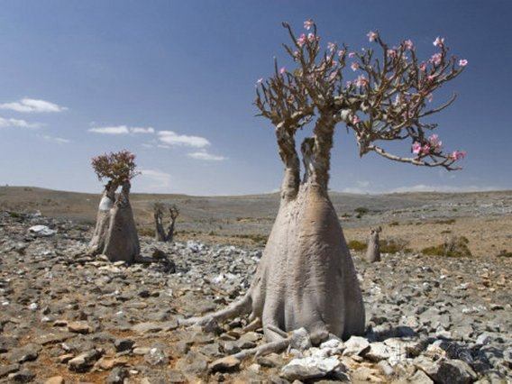 Bottle-Tree Endemic to Island, Diksam Plateau, Central Socotra Island, Yemen, Middle East