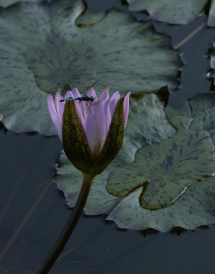 Dragonfly on a Water Lily Blossom