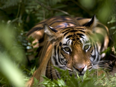 Female Indian Tiger, photographic print