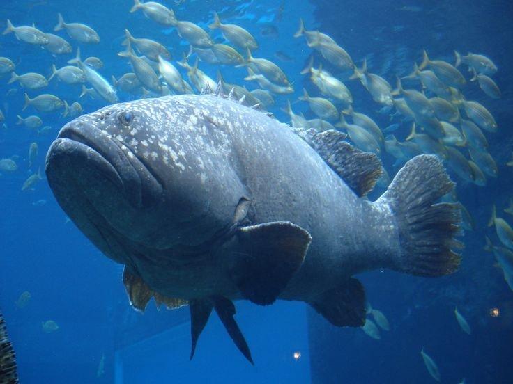 Giant Grouper, Huge Fish