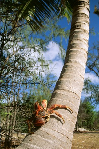 Giant Robber, Coconut Crab