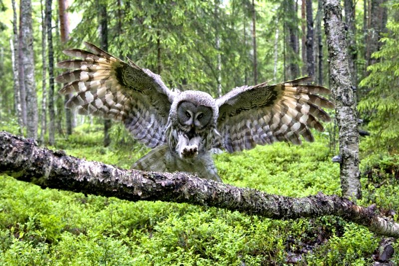 Great Gray Owl Landing on Branche