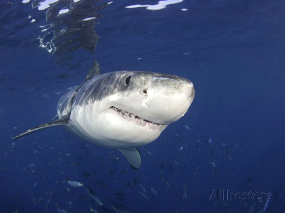 Great White Shark (Carcharodon Carcharias), Guadalupe Island, Mexico