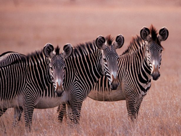 Grevy's Zebra, Masai Mara, Kenya