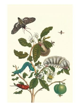 Guava and Podalia by Maria Sibylla Merian