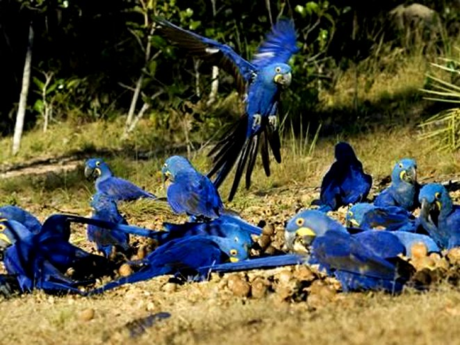 Hyacinth Macaws - Flock of Parrots Eating Brazil Nuts