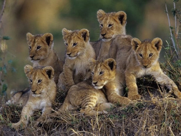 Six Lion Cubs Waiting for Mom to Return, Kenya, Art Print
