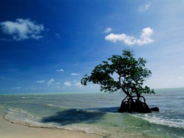 Mangrove Tree, Florida