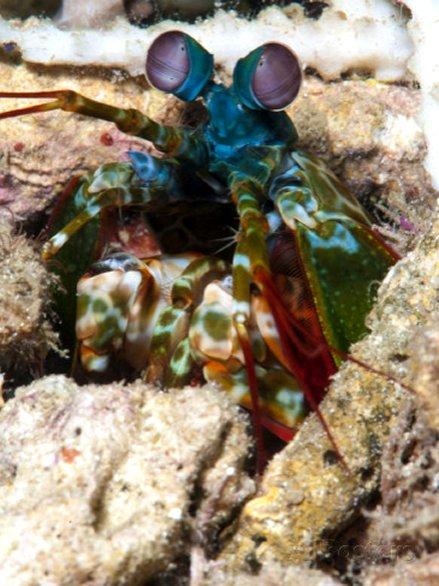 Mantis Shrimp, Sulawesi, Indonesia