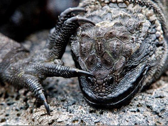 Marine Iguana (Amblyrhynchus Cristatus) Head and Foot - Galapagos Islands