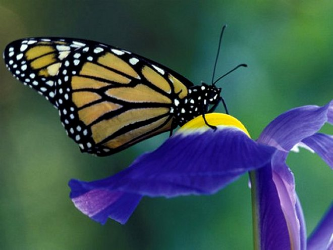 Monarch butterfly on Iris, Bloomfield Hills, Michigan, USA