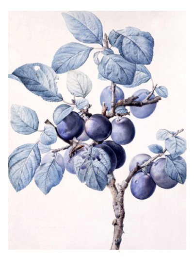 The Branch of a Plum-Tree Bearing Fruit with a Wasp Drinking Water on a Leaf - by Pierre Joseph Redouté