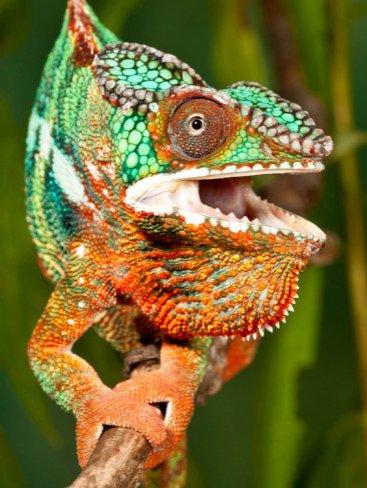 Rainbow Panther Chameleon, Fucifer Pardalis