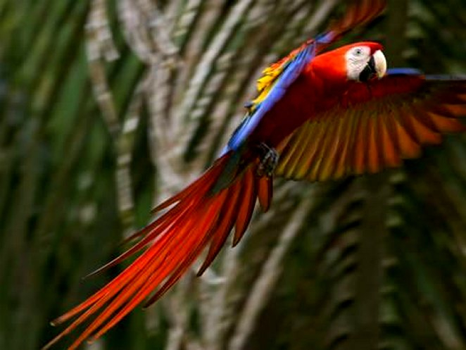 Scarlet Macaw (Ara Macao) in Flight, Preparing to Land in Palms