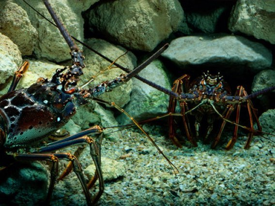 Spiny Lobsters Confront One Another over Territory