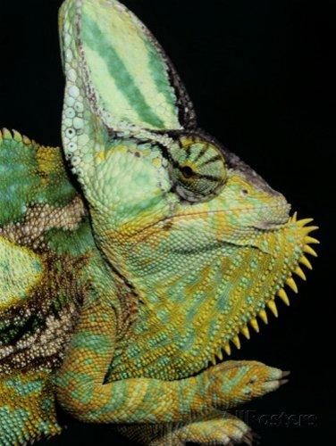 Veiled Chameleon, Chameleo Calaptractus, Yemen