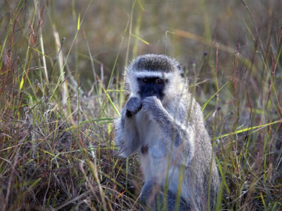 Vervet Monkey Zimbabwe, Africa, Poster