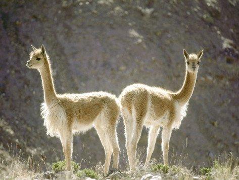 Vicuna, Wild High Andes Cameloid, Peru