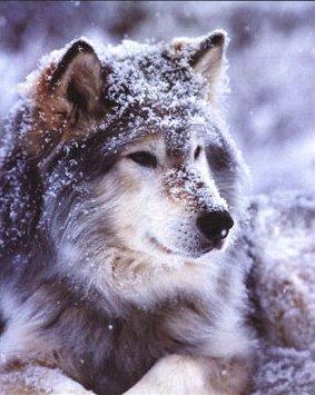 ~~~~~~~~THE PACK~~~~~~~~~~~ Timber-wolf-john-pezzenti-jr